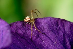 Iris Crab spider by kayaksailor