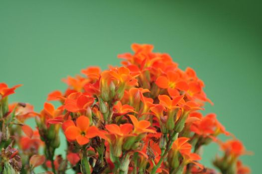 Orange Flowers by luhmaximo