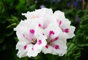White and pink flower by KalleVictor