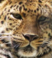 Amur Leopard Stock 11 by HOTNStock