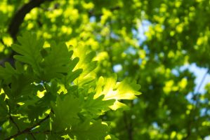 young vibrant green oak by paracats