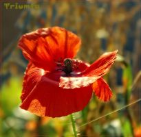 Poppy flower by Triumfa