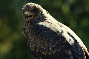 Black Kite by Saromei