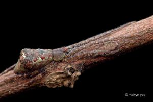 Bruneipisinus sp. by melvynyeo