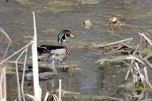 Couple of Wood Duck in the marshes by GuillaumGibault