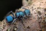 Blue Ant Echinopla sp. by melvynyeo