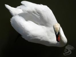 Swan from Above by Oddstuffs