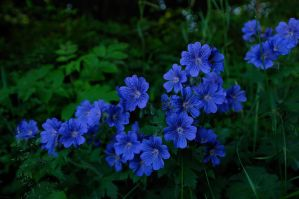 Woodland Geraniums by WestLothian