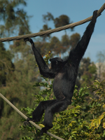 Siamang acrobatics by photographyflower