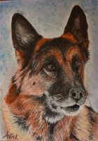 German Sheperd Trenky by ArtiaWolf