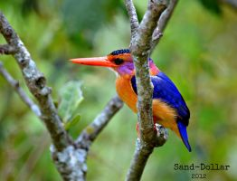 Pigmy KING FISHER by Sand-Dollar