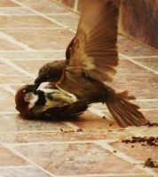 Sparrow attack by MiDulceLocura