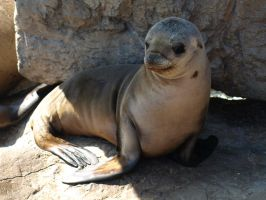 Baby Sealion Stock 1 by Daisy-Mae-Stock