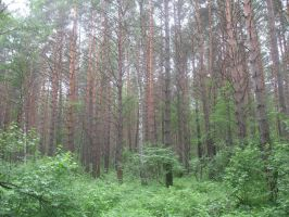 Pines, Siberia by Garr1971