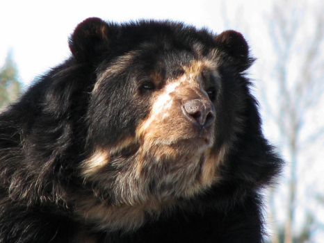 Spectacled Bear Stock 1 by HOTNStock