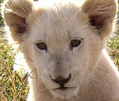 White Lion SA by Jenvanw