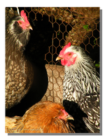 Three French Hens by WillFactorMedia