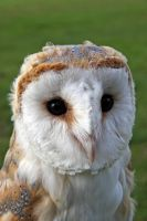 Barn Owl Titch by cycoze