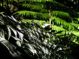 Silver Fern. by LiquidityImages