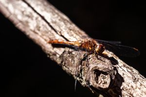 Dragonfly Macro by Lozeng3r