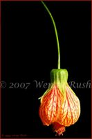 Chinese Lantern by IrishRaine