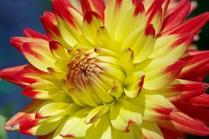 Colors of a dahlia by irrlicht71