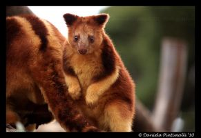 Baby Tree Kangaroo by TVD-Photography