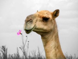 camel by noddy69
