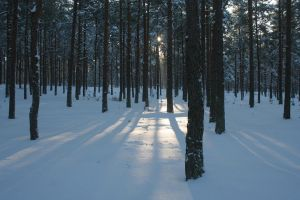 Sunny winter forest stock by icecreamSTOCK