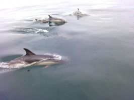 common dolphins by kram666