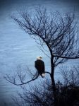 Eagle at Port Angeles by ChristinaH292