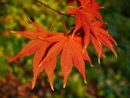 Autumn Acer by Softspoken-One