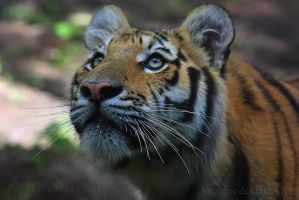 Amur Tiger 8 by Sagittor