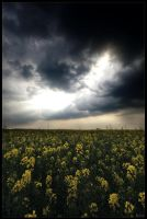 Yellow fields by zardo