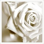 White Rose by MorkOrk