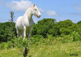 The White Shire Horse. by Estruda