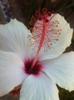 White Flower -picture not taken by me- by ZacharyWolf