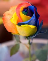 A Rose by Any Colour 8x10 by digitalcitizen
