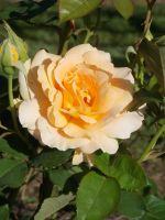 Yellow Rose by spider69n77