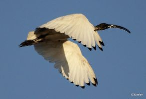 White ibis2 by Bluebuterfly72