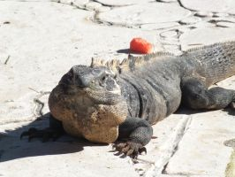 Mexican Iguana 2 by eyannaandkianalovesu