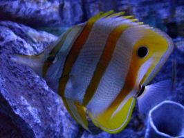 Butterflyfish by renzipoo