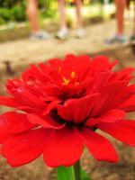 Red Flower by twilght-incantations