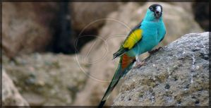 Hooded Parrot by RossoCorvino