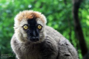 Red Fronted Lemur by Clerdy