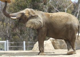 Elephant - Side 2 by dtf-stock