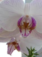 orchid by andi40