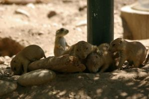 Prairie dogs 6 by Silver-she-wolf-14
