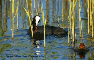 Coot with Chicks. by AdrianDunk