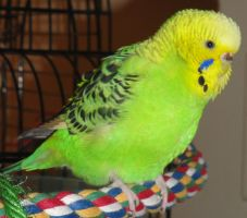 Kiwi the fat parakeet by xiJC02x